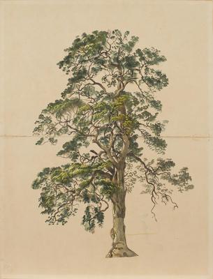 Tree (with Bark Canoe Scar)